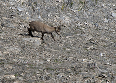 "chamois baby 2 • <a style=""font-size:0.8em;"" href=""http://www.flickr.com/photos/30765416@N06/5187303292/"" target=""_blank"">View on Flickr</a>"