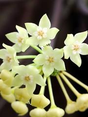 Hoya clandestina (epiforums) Tags: apocynaceae hoya asclepiadaceae asclepiad asclepiadoideae