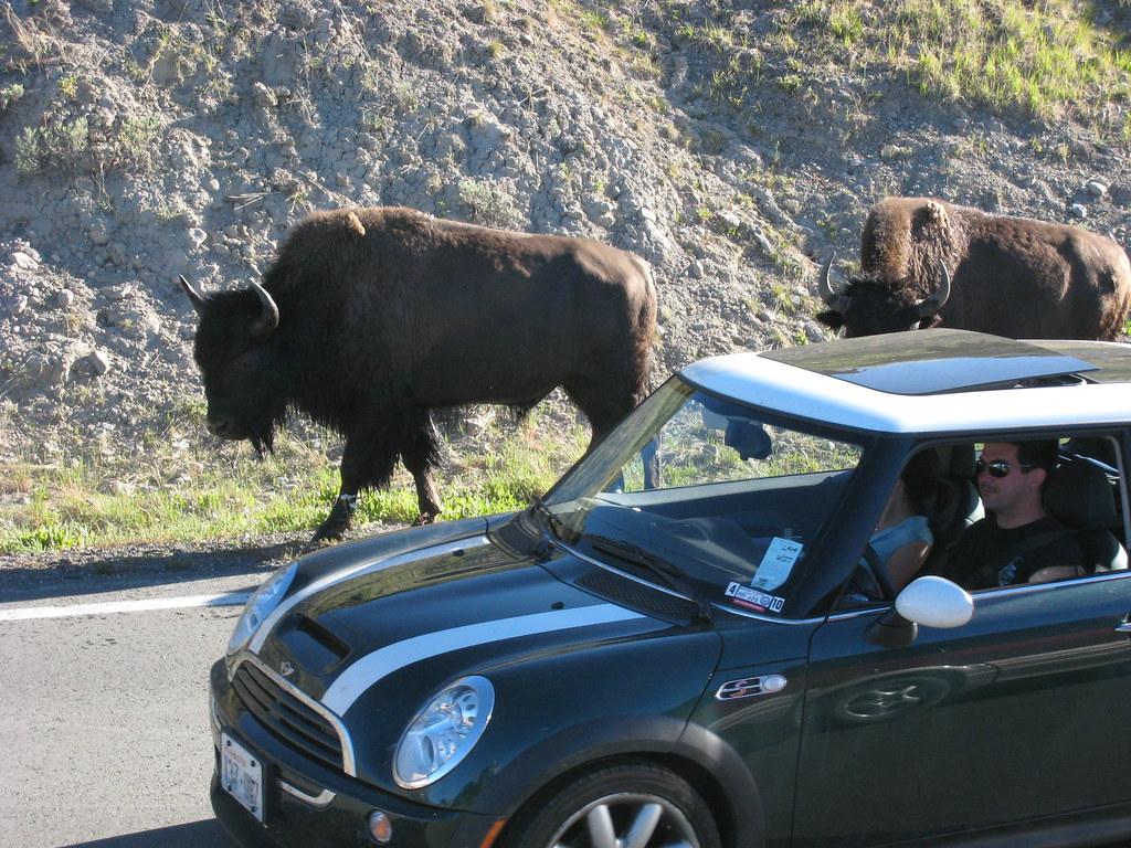 Buffalo meets Europe