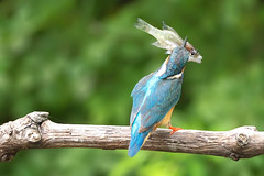 capture of a big fish. (yamasan) Tags: bird commonkingfisher alcedoatthis specnature specanimal