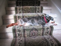 page sunbathes on the step 1203 004 (Shane's Flying Disc Show) Tags: show flying frisbee disc shanes thedoggies httpshanesflyingdiscshowcom
