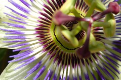 Summer Passion (DeniseJC) Tags: england passionflower naturesfinest mysistersgarden