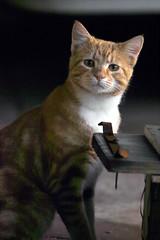 kitten (dalinean) Tags: cute cat kitten australia wa westaustralia