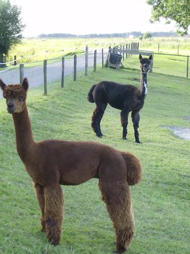 Alpaca's op de Lindendijk