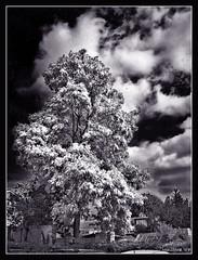 Infrared? (aistora) Tags: trees england blackandwhite bw tree nature monochrome mobile phonecam camphone ir mono britain indigo fake cellphone infrared toned berkshire bnw sonyericssonw900 maistora