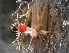 last tomato (Lisic) Tags: autumn red garden tomato september bialystok