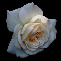 The Last Rose Of Summer (cattycamehome) Tags: flowers roses summer white black flower macro floral rose tag3 taggedout petals tag2 tag1 cream petal excellence catherineingram xoxoxoxox gtaggroup abigfave october2007 lastroseofsummer cattycamehome soulsresonance sirjohnstevenson