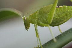 Katydid (imbala) Tags: garden insect katydid australiannative phaneropterinae tettigonioidea wilsonscreeknsw