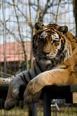 Heidi (FellFarbFotos.de) Tags: heidi tiger bigcat tigress ef2470mmf28lusm pantheratigrisaltaica amurtiger 70mm panthera pantheratigris tigerranch wwwtigerranchde