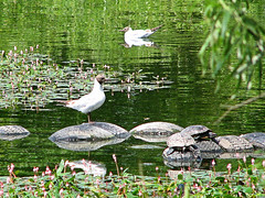 Gulls, Turtles And Old Tyres. (Oldt1mer - Keith) Tags: lake nature water gulls turtles lillies sthelens tyres blackheadedgulls carrmill carrmilldam mygearandmepremium mygearandmebronze mygearandmesilver mygearandmegold