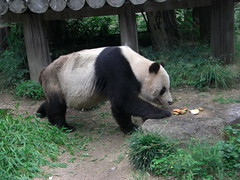 KouKou  panda 2010.06.25 (TaoTaoPanda) Tags: panda koukou ojizoo