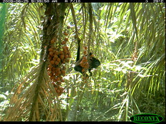 Howler Monkey (siwild) Tags: primates howlermonkey bci alouattapalliata taxonomy:common=howlermonkey taxonomy:group=primates sequence:index=97 file:name=img0891jpg siwild:study=fruitingpalmtrees siwild:studyId=panapalm siwild:Rank=0 geo:locality=panama sequence:length=250 taxonomy:species=alouattapalliata siwild:plot=62 siwild:imageid=604834 file:path=dpicsrunsastromammalsvsmn1arboreal4img0891jpg siwild:location=1850 siwild:camDeploy=1328 sequence:id=29860 siwild:date=200906250939000 siwild:trigger=62029 siwild:region=panama siwild:species=117 sequence:key=125 geo:lon=9161406 geo:lat=79841553 BR:batch=sla0620110103051642
