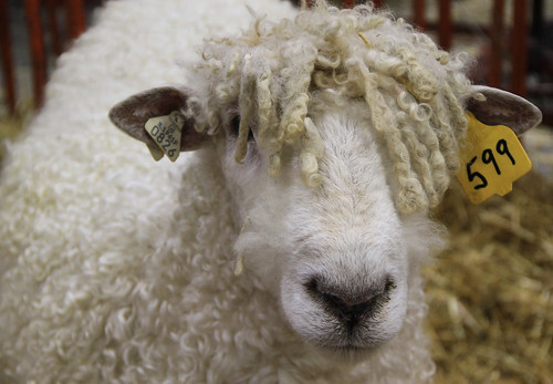 u s  targhee sheep association
