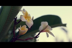 */ */ */ * (tsnoom) Tags: white cinema flower canon plumeria bokeh egypt hurghada eos400d