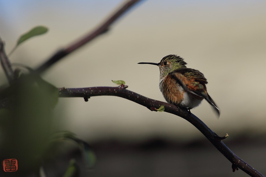 Allen's Hummingbird 111710-4
