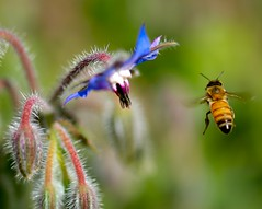 Bee Catch! (Danny Perez Photography) Tags: california park ca flowers abejas plants plant flower macro nature yellow gardens garden insect daylight losangeles wings nikon bees insects bee abelha honey inseto micro miel ape nectar d200 pollen nikkor abeja insekt coolest borage honeybee abeille bij insetto starflower ih bie