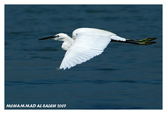 Little Egret Bird (MOHAMMED AL-SALEH) Tags: supershot animalkingdomelite mywinners