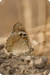 junonia orithya  (Closed wings) ~  ( )    (I Can) Tags: brown macro nature yellow butterfly nikon desert d70s kuwait 2007 q8     junonia  orangenikon
