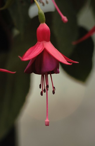 Niagara Flower