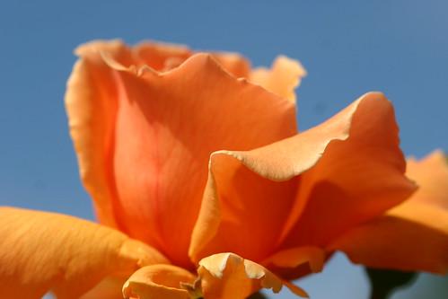 Orange Rose against Blue Sky
