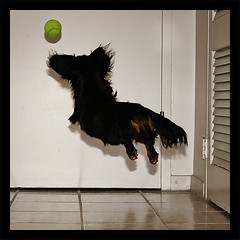 Flight #fr3ddy (r0b0r0b) Tags: dog pet playing hot miniature flying jumping joy sausage kitlens canine dachshund explore 1855mm tennisball freddy weiner weenie doxie flydog 400d canonrebelxti anawesomeshot impressedbeauty