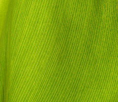 Green Leaf (jhhwild) Tags: green lines botanical leaf parallel