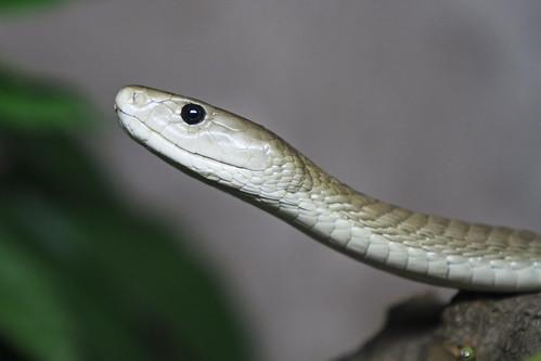 Reptilia - Black Mamba