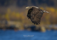 Juv Bald Eagle (Chris Wofford) Tags: blue chris wild brown bird art fall nature water beautiful beauty nova birds america canon river fly us flying interestingness fantastic wings fishing md eyes rocks afternoon dof view natural eagle bokeh dam wildlife flight baldeagle feathers bald maryland national american raptor 7d usm 500mm majestic eagles ef f4 mothernature magnificent geographic birdsofprey naturally 2010 nationalgeographic watcher feathery birdwatcher natgeo conowingo wofford conowingodam mothernaturesgreenearth chriswofford