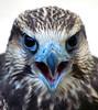 I said NO PICTURES... (beachwalker2008) Tags: bird bravo quality falcon soe 250 laggarfalcon blueribbonwinner falcojugger interestingness80 i500 flickrsbest specanimal akassignmentvibrancy