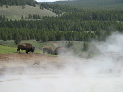 Fighting Buffalo (avsfan1321) Tags: usa nature water animals buffalo unitedstates mud unitedstatesofamerica steam yellowstonenationalpark yellowstone mammals mudvolcano blackdragonscauldron