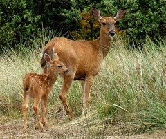 Mom And Her Baby (shesnuckinfuts) Tags: family nature animal searchthebest wildlife deer fawn muledeer animalplanet rightplacerighttime naturesfinest oceanshoreswa odocoileushemionus blacktaildeer experiencewa animaladdiction specanimal june2007 shesnuckinfuts washingtonstateoutdoors