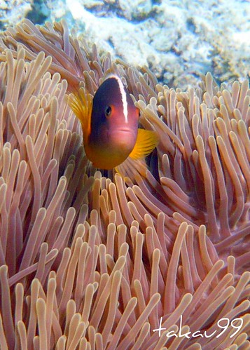 Skunk Anemonefish on Similan Islands