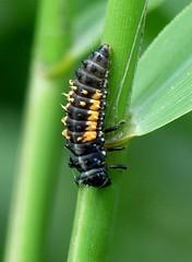 Lady-Beetle mid-larva stage (Coccinellidae) (sillie_R) Tags: insect explore ladybird ladybeetle larvae coccinellidae coccinella naturesfinest supershot jalalspagesnaturealbum