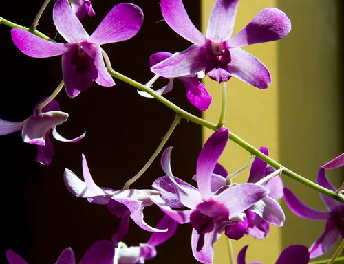 Windowsill Orchids