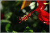 Hibiscus (McSid) Tags: nikon hibiscus mcs siddharth d40 mywinners sembaruthi