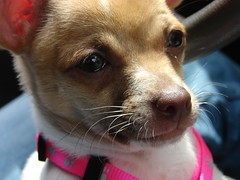 dog pet chihuahua face puppy lily