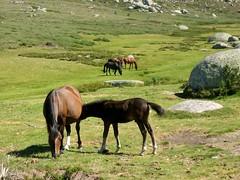 Chevaux près du Castellu d'Ornucciu