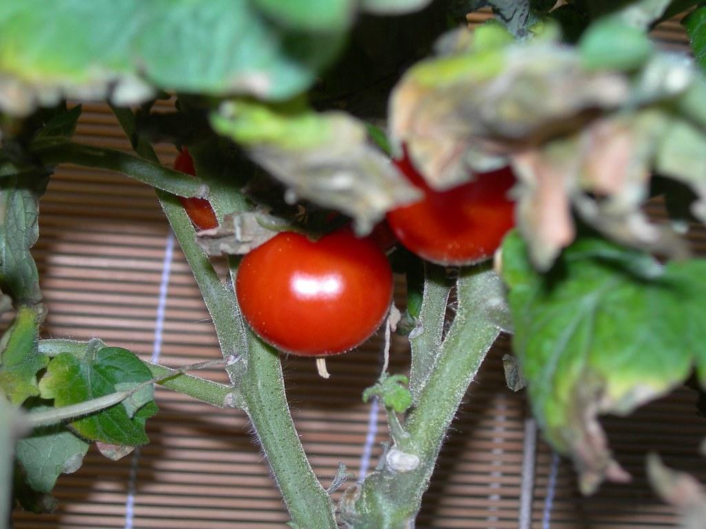 2007-07-31 Tomatoes (2)