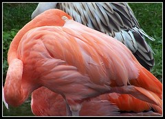 Do the Flamingo! (makeupanid) Tags: pink orange white black coral zoo framed feathers torontozoo phoenicopterusruberruber americanflamingo takeabow featheryfriday animaladdiction avianexcellence flickrdiamond