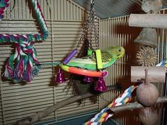 DSC03355 (PhotoPieces) Tags: bird budgie parakeet ilovebirds