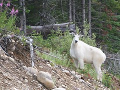Mountain Goat_4582 - by ru_24_real