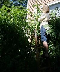 measuring tomato plants