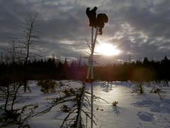 Late evening snowshoe (Boreal) Tags: snowshoe bog boreal newfoundlang