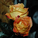 saturday roses