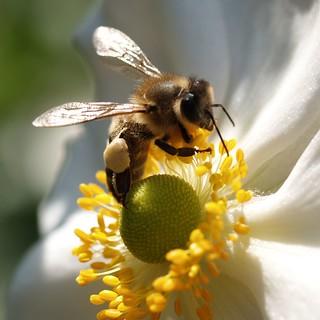 Honigbiene / Honeybee # 1
