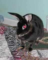 Mrs. Rabbit looking alarmed (LordFinbar) Tags: pets rabbits