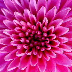 Heart of a Chrysanthemum (LongInt57) Tags: pink flower macro chrysanthemum excellence naturesfinest top20flowers supershot flowerotica photology anawesomeshot impressedbeauty infinestyle top20pink exquisiteimage