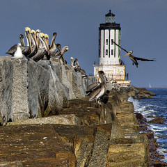 Pelicans and  the Lighthouse (Nick  Carlson) Tags: pictures lighthouse bird photography photo photos pics seagull carlson nick picture pic pelican sanpedro breakwater abigfave aplusphoto superbmasterpiece nickcarlson truelifeimages sanpedrobreakwall anglesgatelighthouse nickcarlsonphotography