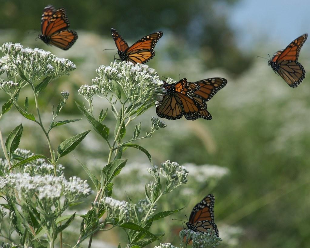 Monarch Butterflies DSC 0122 - Version 3