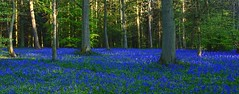 Bluebells  in the Evening (algo) Tags: blue trees light bluebells forest evening interestingness woods topf50 topv333 explore trunks algo naturesfinest wendoverwoods 80506 explore128